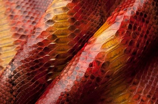 Cobra lambida