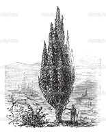 Mediterranean Cypress or Italian Cypress or Tuscan Cypress or Graveyard Cypress or Pencil Pine or Cupressus sempervirens, vintage engraving. Old engraved illustration of a man standing beside a Mediterranean Cypress tree.